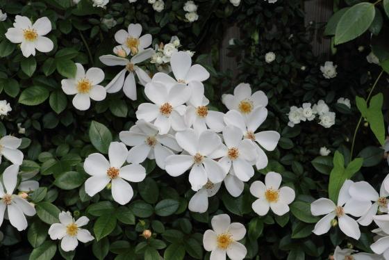 雪あかりは純白の一輪咲き