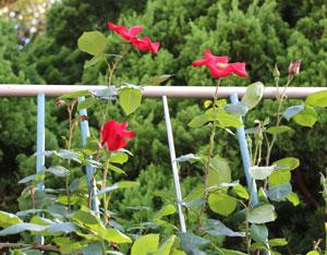 アルテシモは一重咲きのつるバラ