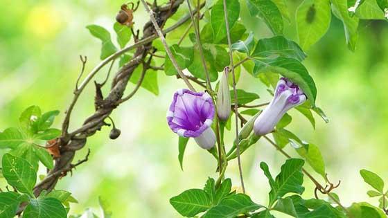アサガオは夏の花