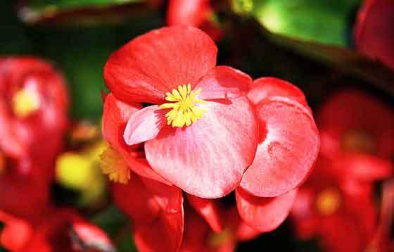 ベゴニアは春から秋まで咲く花