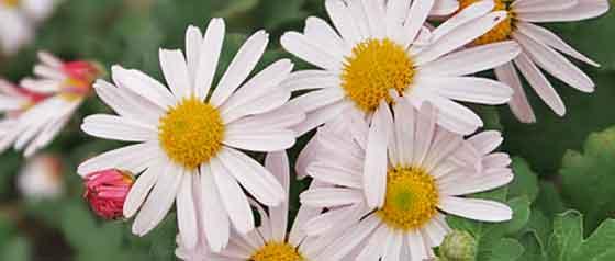 シャスターデージーは5~7月が開花期