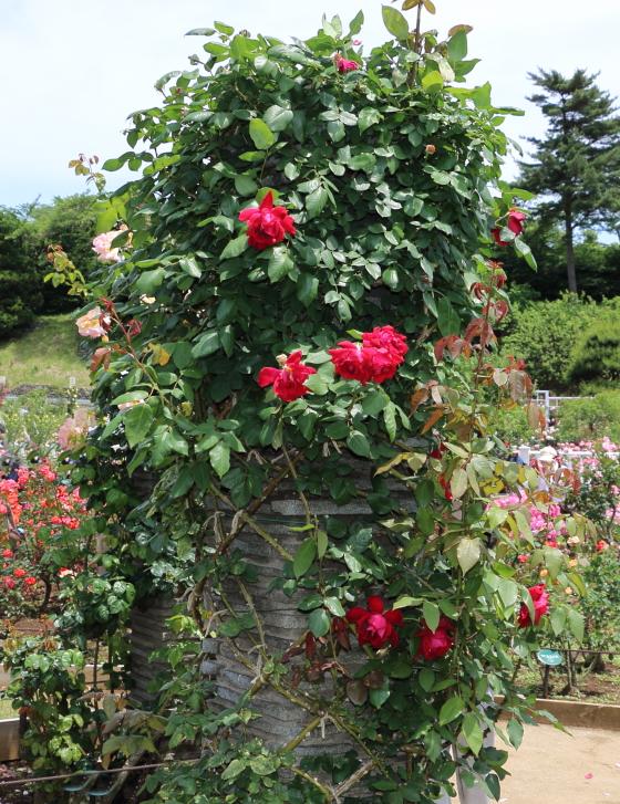つるクリストファーストーンは赤色バラです