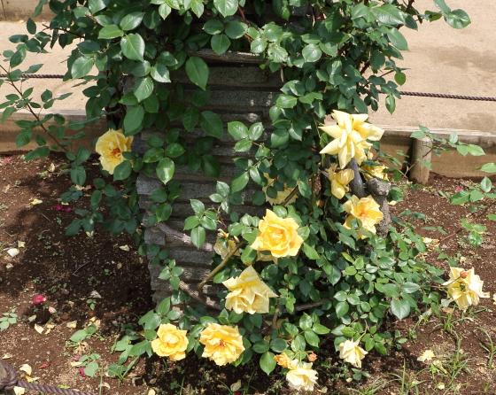 黄色のつるバラです