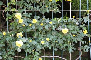 つるゴールドバニーは黄色いバラです
