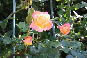 つるグランメールジェニーは黄色系のつるバラ