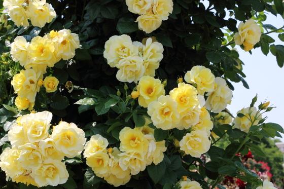 大輪咲きの黄色系つるバラです