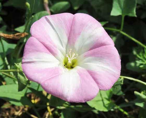 コンボルブルスは淡い花色が多い