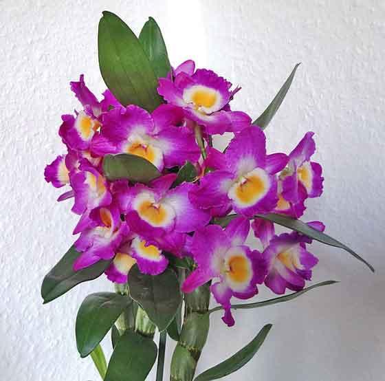 デンドロビウムはラン科の花です