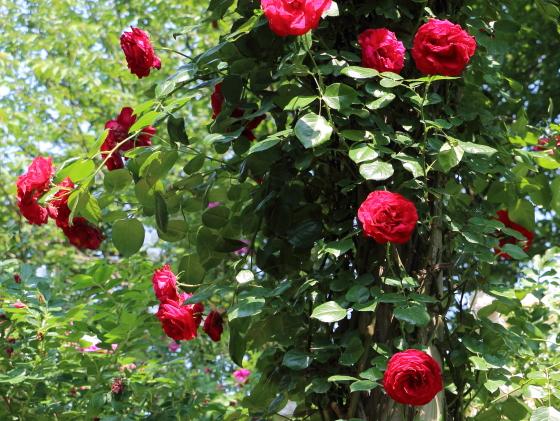ダブリンベイは赤色のつるバラ