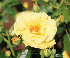 エバーゴールドは花形が柔らかいイメージのつるバラ