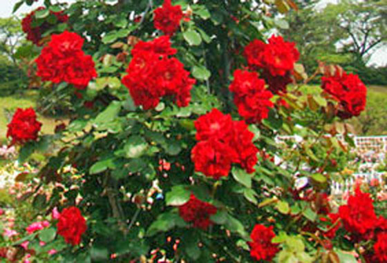 エクスプロあは赤色系のバラ