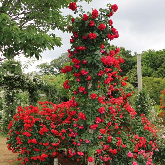 フロレンティーナは赤色のつるバラです