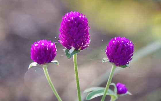 センニチコウは夏から咲く花