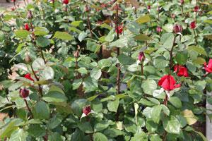 グランでアモーれは赤色系のつるバラです