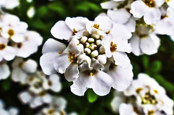 イベリスはアブラナ科の花です