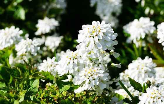イベリスは春に咲く花