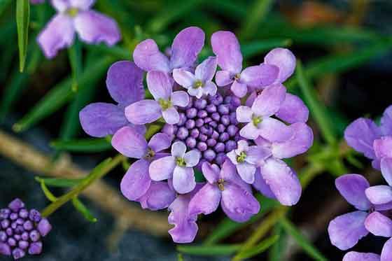 イベリスは花径1cm程です