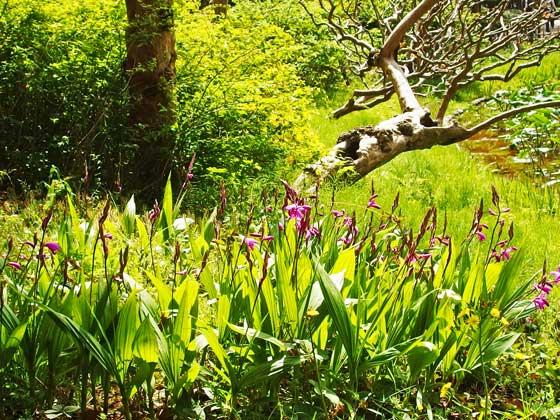 二の丸庭園に咲くシランの花