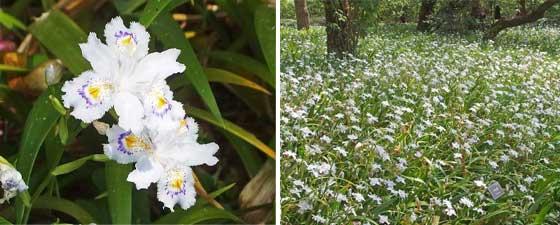 二の丸庭園に咲くシャガの花