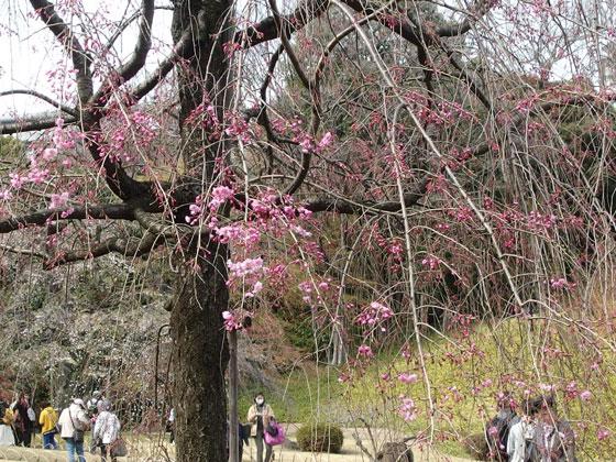 小石川後楽園の桜が咲く