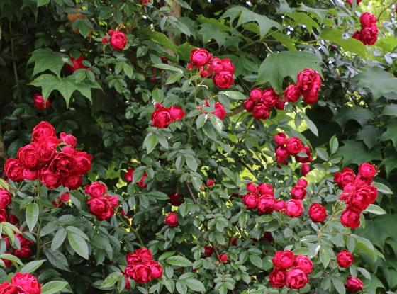赤色系のつるバラです