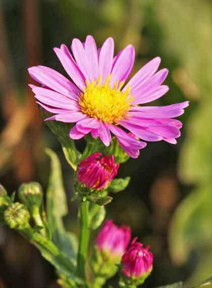 ミヤコワスレの開花期は4から6月