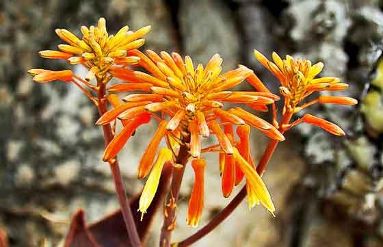 ニコチアナは春~秋に咲く