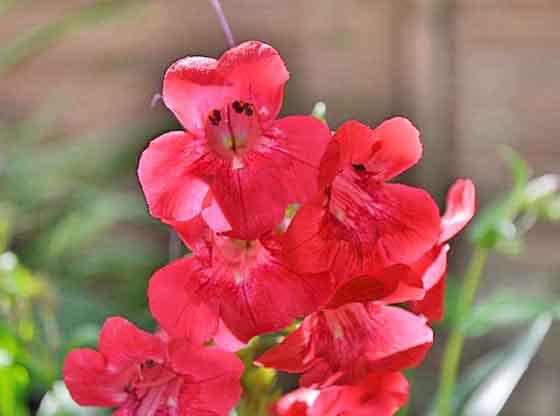 ペンステモンは春~夏に咲く花