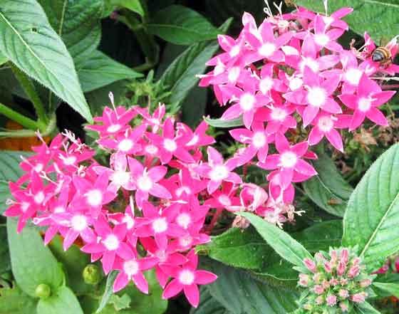 ペンタスは開花期が5月から10月