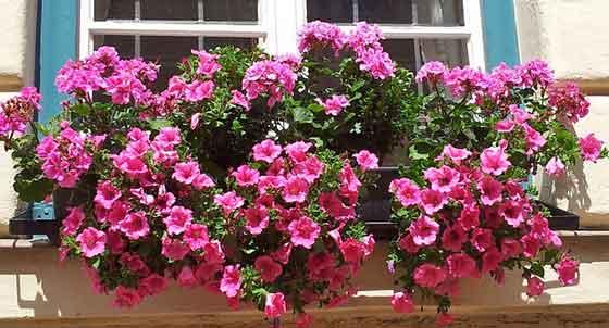 ペニチュアの開花期は4~10月