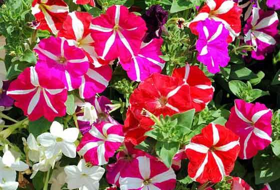 ペチュニアは開花期間が長い花です
