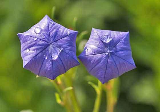 キキョウは耐寒性が強い花です