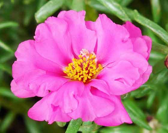 マツバボタンは暑さに強い花