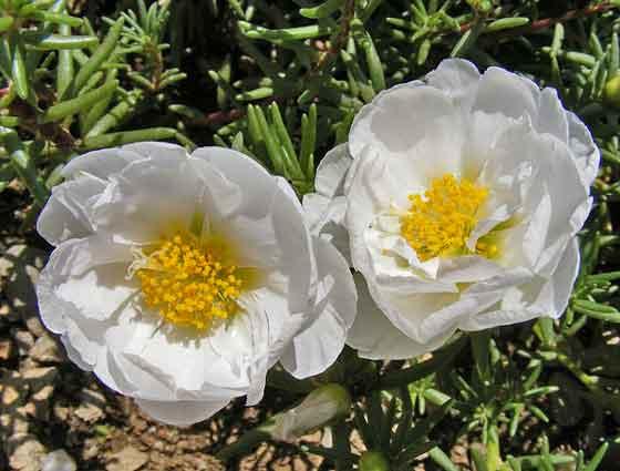 マツバボタンは開花期間が長い花