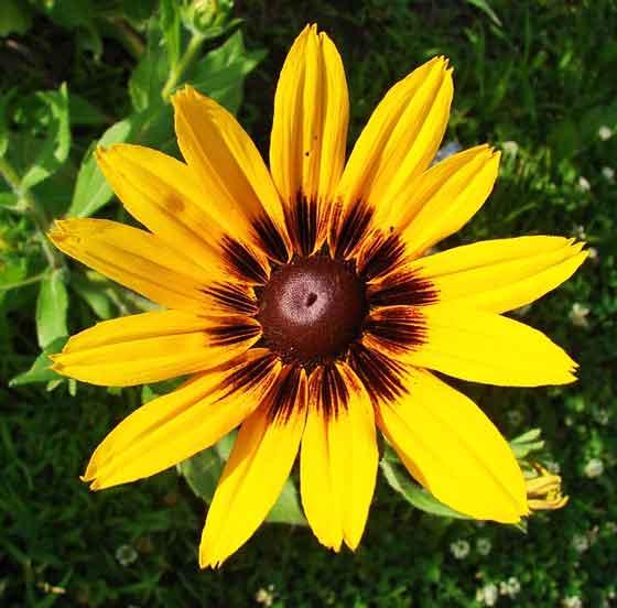 ルドベキアは夏に開花する花です