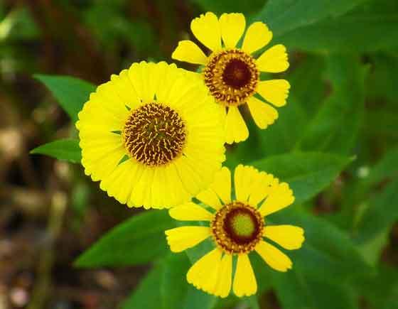 ルドベキアは初心者にも育てやすい花