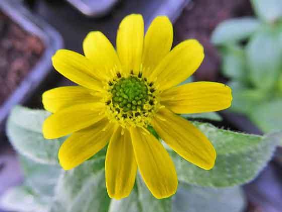 サンビタリアは春~晩秋まで咲く花