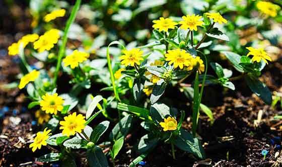 サンビタリアは一年草です