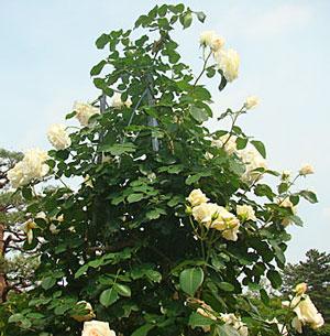 花枝が短く咲き揃うとブーケのようになる