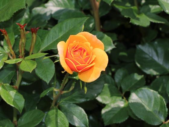 ランブラー系統の黄色いバラ