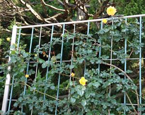スペクトラは黄色のつるバラです