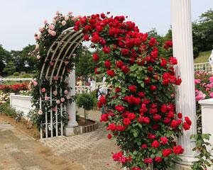 アンクルウォルターは赤色系つるバラ