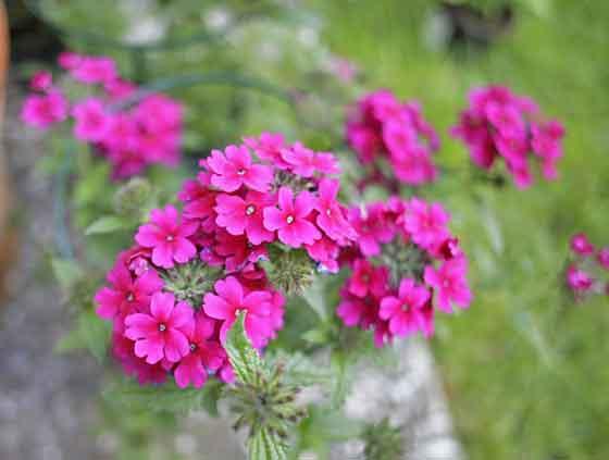 バーベナは春から秋まで開花する