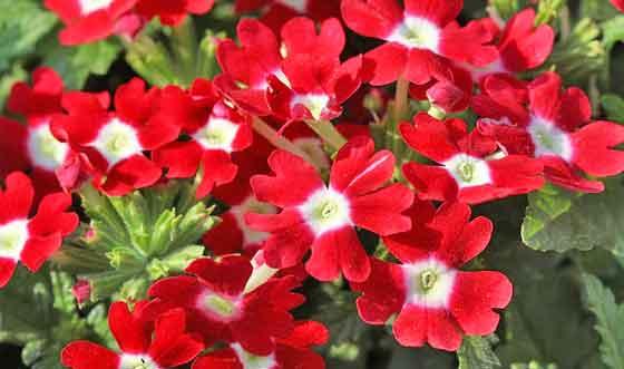 バーベナは寒さに弱い花です