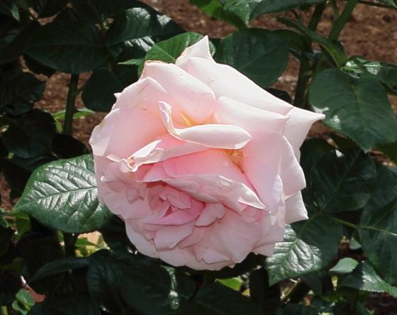アフロディーテはピンク色のバラ