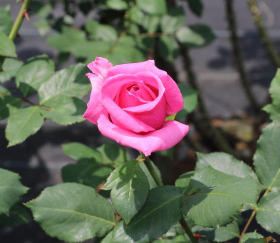 アザームローズは来いピンク色のバラ
