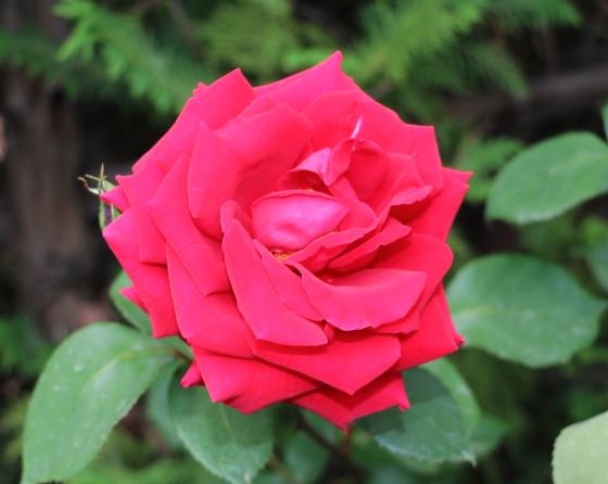 篤姫はとても花つきがより赤色バラです
