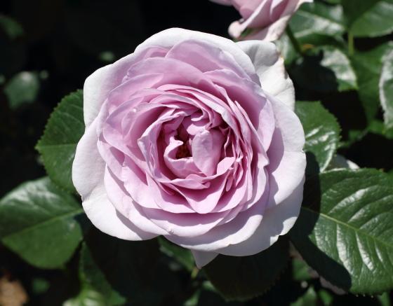 ブルーバユーは多花性のバラ