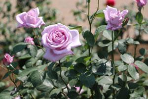 ブルームーンは大輪サイズのバラ