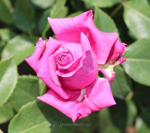 ブルーパフュームは四季咲き性のバラ